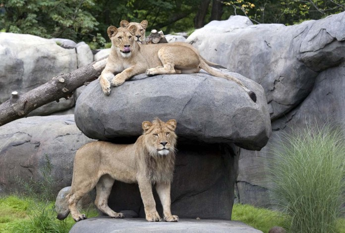 Lions on exhibit in Predators of the Serengeti at the Oregon Zoo. © Oregon Zoo / photo by Carli Davidson